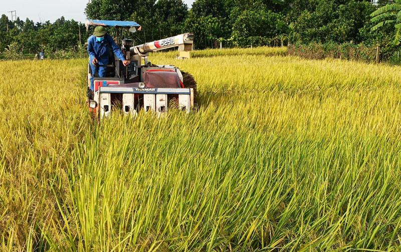 Việc thu hoạch lúa mùa tại các địa phương đang diễn ra khẩn trương.