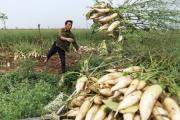 Hà Nội họp 'giải cứu' cả nghìn tấn củ cải ế