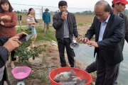 Những mô hình nuôi cá rô phi VietGAP được bao tiêu, mang lại hiêu quả vượt trội
