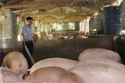 Ngăn chặn dịch tả lợn châu Phi