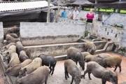 Phú Thọ có nữ tỷ phú sở hữu gần 2 nghìn con lợn rừng khiến đàn ông cũng phải nể