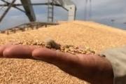 Cần tạm dừng nhập khẩu lúa mì có nhiễm cỏ kế đồng
