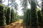Lạ mà hay: Vườn tiêu xanh mướt 'đu bám' thân dừa, tiền về gấp 2