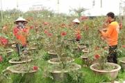 Trồng hoa hồng kiếm tiền tỷ mỗi năm ở Quảng Ninh