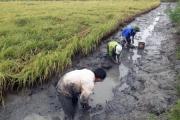 Xem dân bắt loài tôm to nuôi trong ruộng lúa, bán 150-250 ngàn/ký
