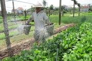 """Quảng Nam: Cả làng """"hò nhau"""" trồng đủ loại rau ngon bán Tết"""