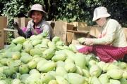 6,6kg xoài có thể đe dọa cả một nền nông nghiệp của Việt Nam đó, thưa quý vị!