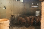 Hình ảnh người dân Hà Nội phòng chống dịch tả lợn châu Phi