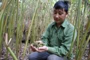 Trai Mông đổi đời nhờ loài cây quý ra quả lổn nhổn dưới gốc