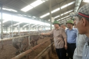 Ngắm đàn trâu, bò 5.000 con béo mập trong trại lớn nhất miền Bắc