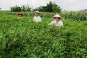 Nông dân Lạng Sơn phấn khởi vì ớt được mùa