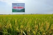 Cấy lúa Đài thơm 8, nông dân chỉ sợ không có đủ thóc bán