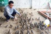 Tây Ninh: Trồng cây lạ cho chim cút ăn, thịt ngon như chim cút rừng