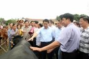Hà Nội chi trăm tỷ phát triển đàn bò BBB