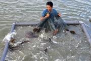 Khám phá nơi nuôi loài cá song vua đặc sản, mỗi con nặng 30-60 kg