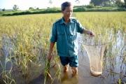 Tuyên Quang: Nuôi cá chép trong ruộng lúa, chả phải cho ăn mà cá vẫn to, bự