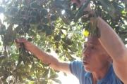 Ấm no, giàu có khi trồng mắc ca cho quả sai trĩu cành