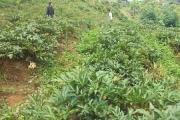 Kon Tum: Khai thác tiềm năng cây dược liệu ở Măng Cành