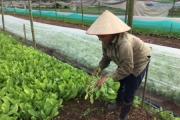Liên kết chuỗi sản xuất rau sạch, Chúc Sơn thành công