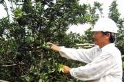 Nông dân Hiếu Liêm liên kết làm giàu nhờ trồng cây ăn quả hữu cơ