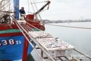 5 ngày ra khơi trúng đậm cá trỏng, bỏ túi hàng trăm triệu mỗi tàu