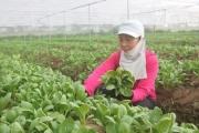 Liên kết sản xuất rau an toàn