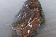 Hàng tấn cá chết tại Hà Tĩnh có thể do sử dụng xung điện