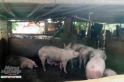 Vì sao việc thu gom, giết mổ lợn 'chui' vẫn tái diễn ở Thanh Hóa?