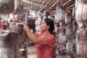 Hà Tĩnh: Cảnh nhà khấm khá lên nhờ trồng nhiều loại nấm ngon