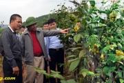 Nông dân làm giàu từ trà hoa vàng Ba Chẽ