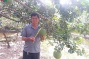 Nông dân Bến Tre làm giàu từ cây bưởi da xanh VietGAP