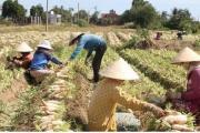 Đồng bào Khmer kiếm thu nhập khá từ trồng củ cải trắng làm xá pấu