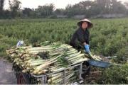 Nông dân Thái Bình trồng salad 'lạ', xuất khẩu hàng trăm tấn