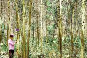 Kinh nghiệm hay của Quảng Trị trong trồng rừng bền vững