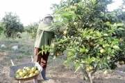 Như Xuân (Thanh Hóa): Nhiều hộ làm giàu từ trồng cam