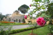 Hồng cổ bung nở tại Hoàng Thành Thăng Long