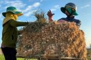 Quảng Ngãi: Nhộn nhịp mùa thu hoạch 'vàng trắng' trên đảo tiền tiêu