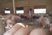 Thủ tướng giao Bộ NNPTNT đưa giá lợn hơi xuống dưới 75.000 đồng/kg