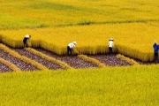 Tín hiệu vui cho nông dân trồng lúa