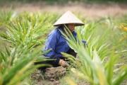 Trồng dược liệu đạt chuẩn quốc tế góp phần nâng tầm thuốc Việt