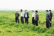 Thừa Thiên - Huế: Hỗ trợ nông dân cứu lúa đổ ngã, giảm thiểu thiệt hại vụ Đông Xuân