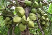 Đẩy mạnh nâng cao chuỗi giá trị cho dừa Trà Vinh