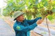 Nho Hạ Đen - góp phần chuyển đổi cơ cấu ngành nông nghiệp