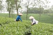 Phát triển thương hiệu chè Phú Thọ