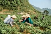 Hà Giang: Nhân rộng diện tích trồng cây dược liệu trên cao nguyên đá