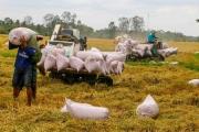 Giá gạo xuất khẩu giảm kéo giá lúa tại ĐBSCL xuống