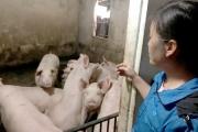 Cần có chính sách hỗ trợ người chăn nuôi nhỏ lẻ tái đàn lợn trong nước