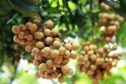 Cần Thơ: Trồng nhãn Ido đạt chuẩn VietGAP, có mã vùng trồng