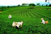 Thái Nguyên phát triển mô hình chè an toàn, phát triển bền vững