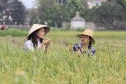 Hà Nội: Dẻo thơm gạo hữu cơ Đồng Phú